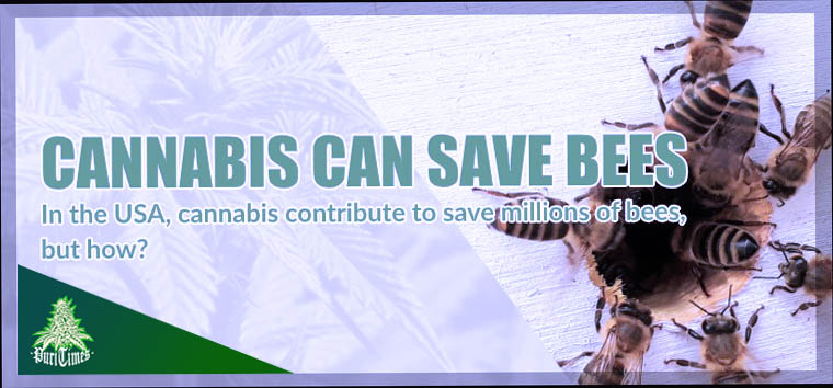 cannabis cbd can save bees