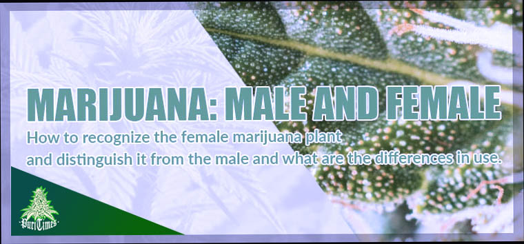 difference between male and female marijuana
