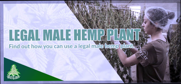 the uses of legal male hemp plant
