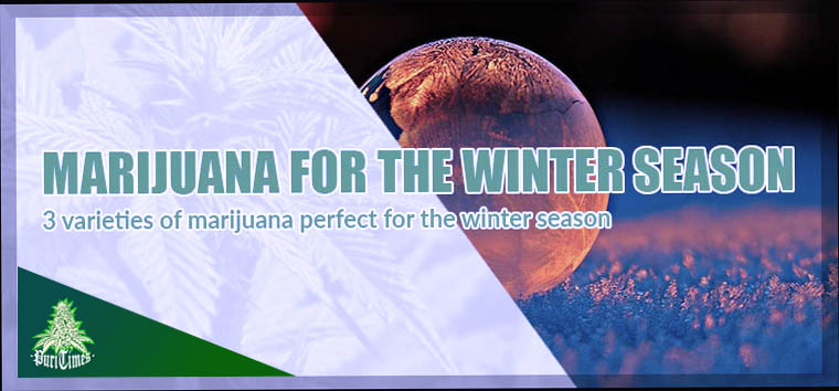 winter season marijuana plant